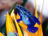 sapo cor azul