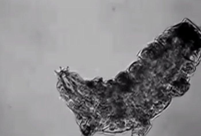 microscopico e valente