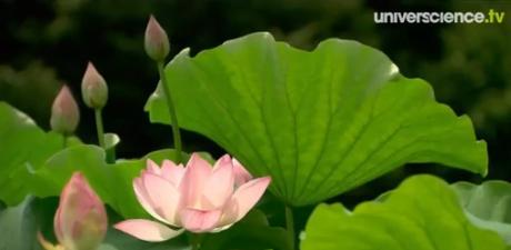 flor-lotus-doc